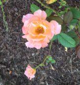 lt-orange